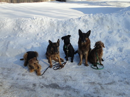 From left to right Sully a female Airdale Brenna a female GSD Dulcy a Black lab Pittbull mix Fanto a male GSD AND Ruffy a male Goldendoodle